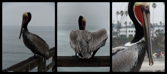 pelican collage