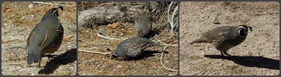 quail collage
