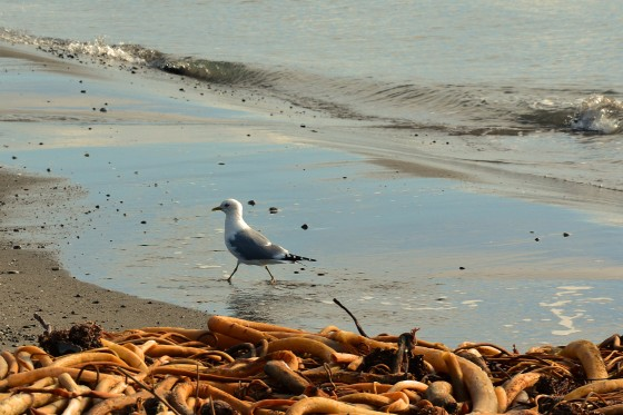 gull and kelp