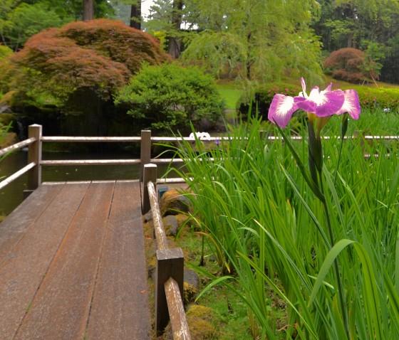 japanses garden iris