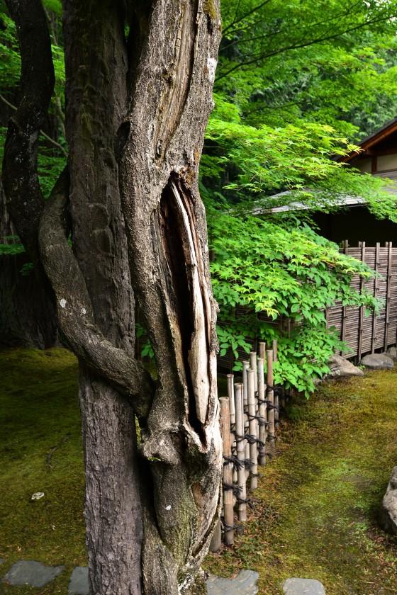 wisteria trunk