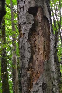 woodpecker tree1