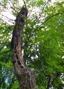 woodpecker tree5