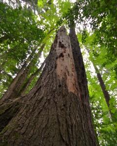 woodpecker tree7