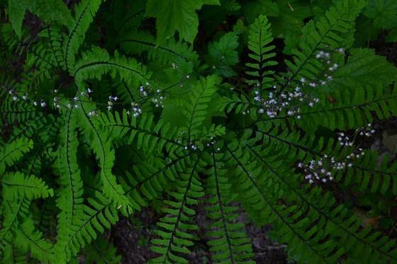 paradise fern and tiarella