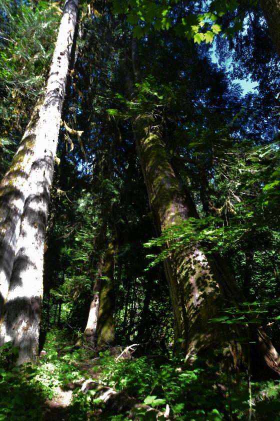 paradise leaning cedar