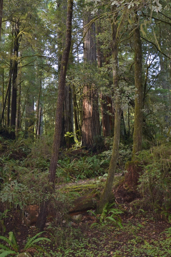 Barb Redwoods 001