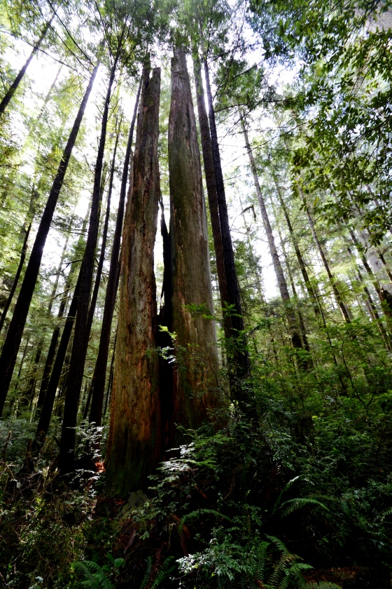 Barb Redwoods 056a