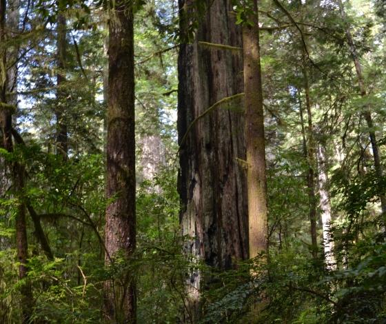 Barb Redwoods 057c